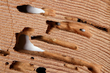 termite damage in dry wood
